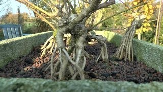 Bonsai root formation. Wurzelgestaltung Forsythia,