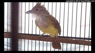 Download Suara Kicau Burung Cucak Jenggot Raja