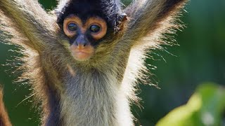 Why Spider Monkeys Only Have Four Fingers