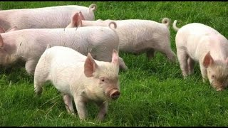 Proceso de Gestación, Cría y Levante en la Producción de Cerdos - TvAgro por Juan Gonzalo Angel