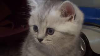 Шотландский котенок Скоттиш - страйт