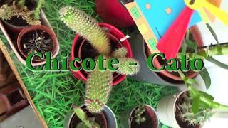 Video Chicote - Cato download MP3, 3GP, MP4, WEBM, AVI, FLV Juni 2018