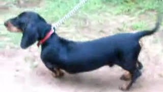 Dachshund In Alan Kennel. He Is A 9 Month Old Puppy!!