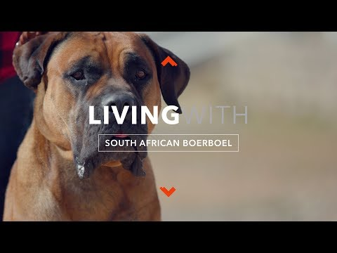 LIVING WITH SOUTH AFRICAN BOERBOEL
