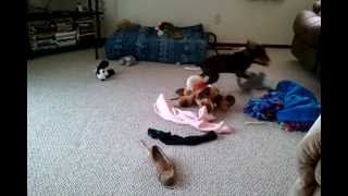 Funny Playful Red Doberman Pinscher Puppy W/her Toys!