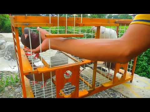 main-merpati-di-sawah--lepas-merpati-bandangan-.www.merpatikusokaraja.com