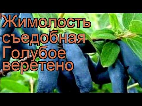 Жимолость съедобная Голубое веретено 🌿 обзор: как сажать, саженцы жимолости Голубое веретено