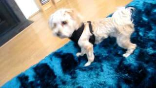 Morko The Maltese Yorkie Mix (morkie) Playing Keep Away And Barking.