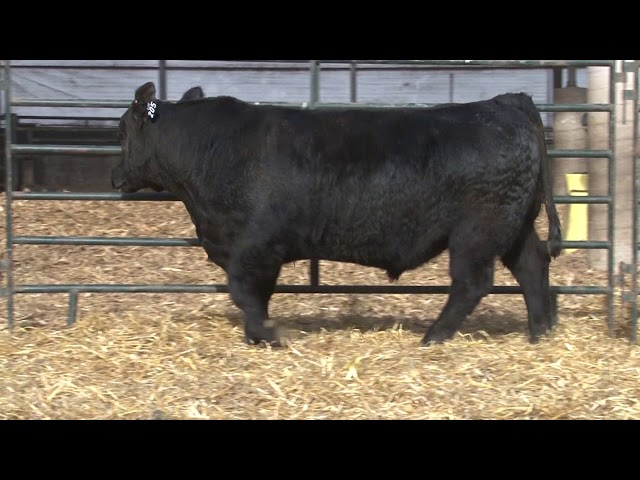 Schiefelbein Angus Farms Lot 205