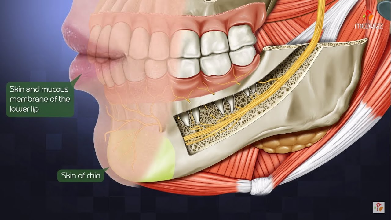 the inferior alveolar nerve or inferior dental nerve head and neck gross anatomy medical animation [ 1280 x 720 Pixel ]