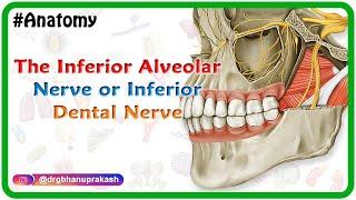The inferior alveolar nerve or inferior dental nerve - Head and neck gross anatomy medical animation
