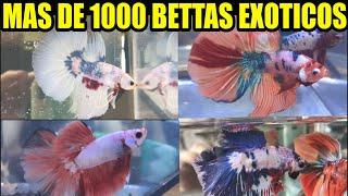 Mas de 1000 BETTAS exóticos GRAN  IMPORTACIÓN