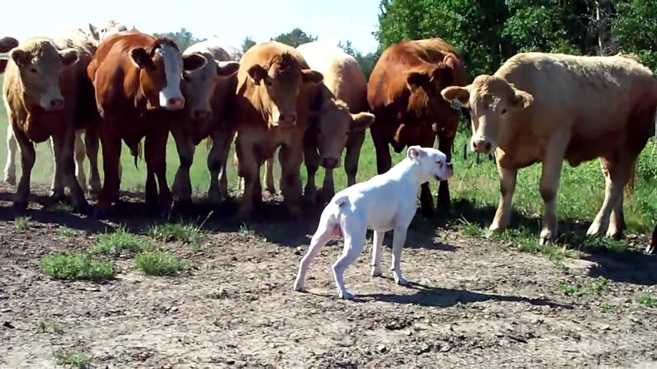 boxer vs cows youtube