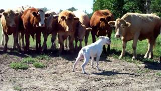 Dog plays with cows