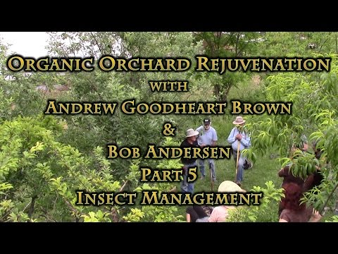Organic Orchard Rejuvenation Part 5 Insect Management
