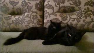 Черная история. Черная кошка, моет черного кота.