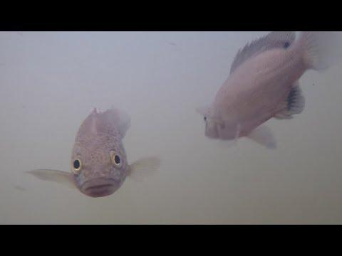 Atherton Tableland fish