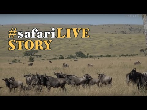 The first wildebeest have arrived in Kenya!