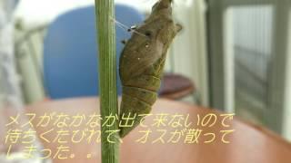 庭で見つけたアゲハチョウの蛹を羽化を観察するために 室内に入れておい...