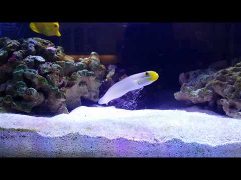 Sleeper Golden Head Goby Shifting Sand In My 180G Reef Tank
