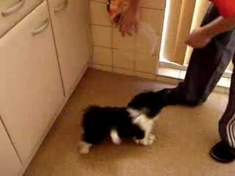 Shih Tzu Mickey barking