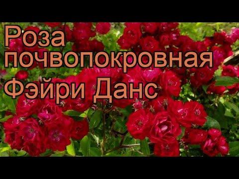 Роза почвопокровная Фэйри Данс 🌿 роза Фэйри Данс обзор: как сажать саженцы розы Фэйри Данс