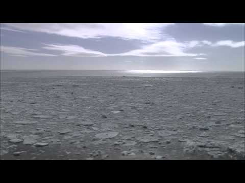 Harp Seals in Bad Sea Ice Conditions