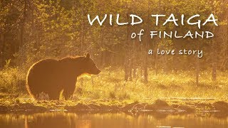 WILD TAIGA OF FINLAND - A LOVE STORY | Wildlife Photography, Photo Blind, Bears and Wolves