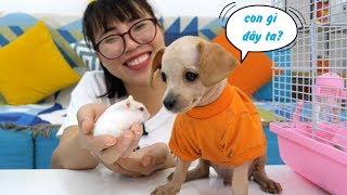 Giới Thiệu 4 Bạn Chuột Hamster Mới Của Chị Thơ