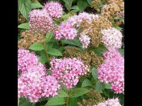 Spiraea. Very easily propagated by layering.