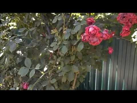 Размножение плетистой розы