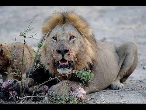 LIONS VS HYENAS - Clash of Enemies