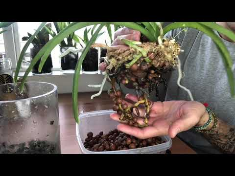 Repotting My Vandaceous Orchids