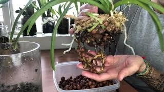 Repotting My Vandaceous Orchids
