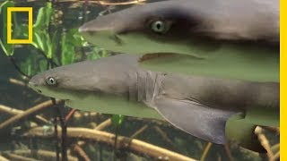 Do Lemon Sharks Attack Each Other? | SharkFest