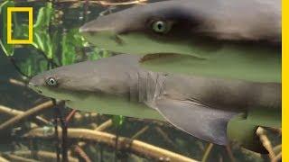 Do Lemon Sharks Attack Each Other?   SharkFest