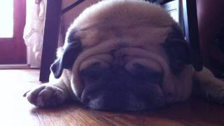 Loud Snoring Pug!! A Dog That Snore Forever