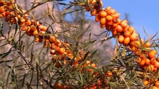 Découverte : l'argousier, le plus énergique des petits fruits
