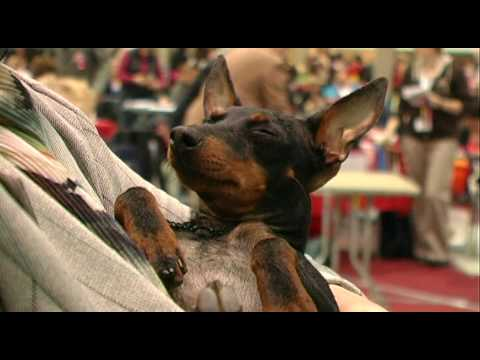 'Havi' - The English Toy Terrier