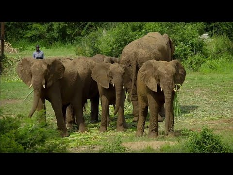 Mystery of Elephant Infrasounds Revealed - Animal Super Senses - BBC