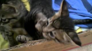 Котята: войны одномесячных пацанов