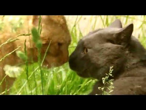 Cat Fight Chartreux Versus Garfield