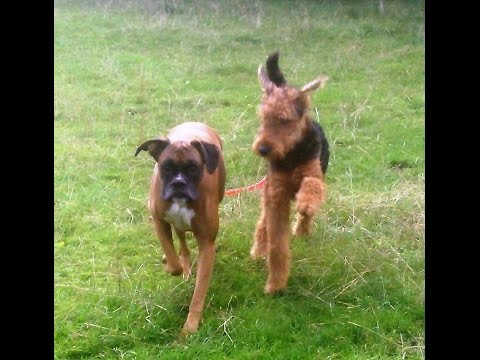 Boxer Dog Barney Peter & Ted.