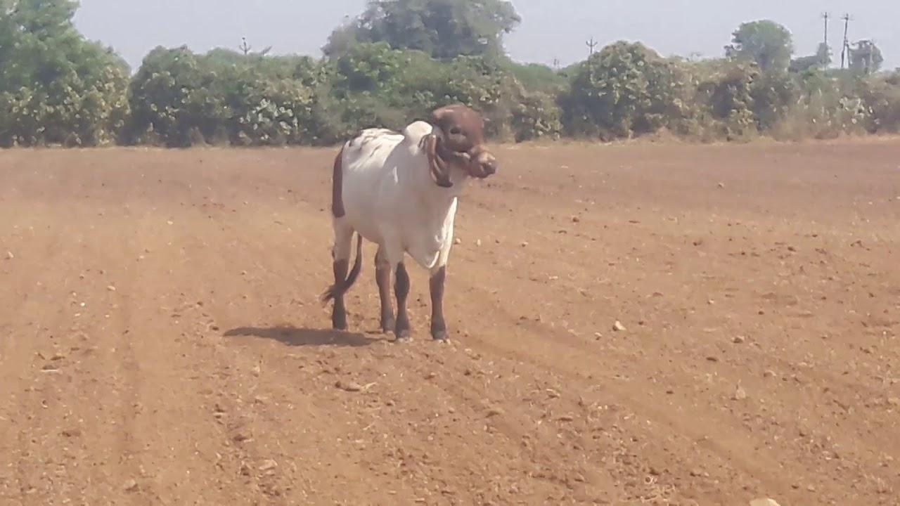 Gir cow 7575889542 - Ravi Herbha - VideoFilm wiki