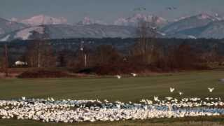 Snow Geese arriving in Farm Field / Snohomish, WA