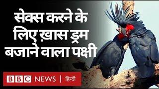 Palm Cockatoo: Sex करने के लिए Special Drum बजाने वाला पक्षी (BBC Hindi)