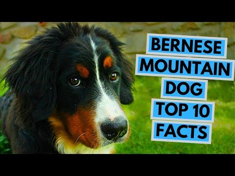 Bernese Mountain Dog - TOP 10 Interesting Facts