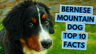 Bernese Mountain Dog  TOP 10 Interesting Facts