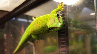 Мха много не бывает! Готовимся к Рептилиуму, рассматриваем зелёных гекконов