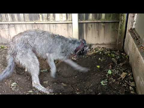 Deerhound Gardening